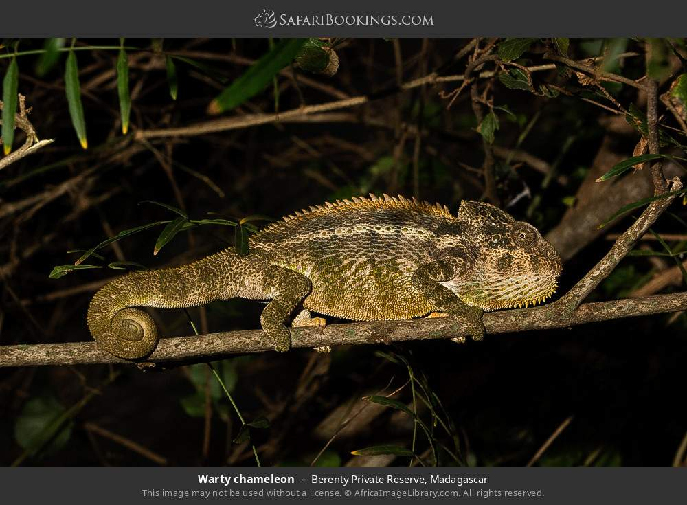 Warty chameleon in Berenty Private Reserve, Madagascar