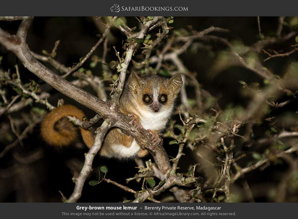 Reddish gray mouse lemur in Berenty Private Reserve, Madagascar