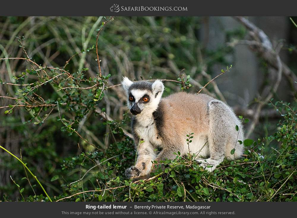 Ring-tailed lemur in Berenty Private Reserve, Madagascar