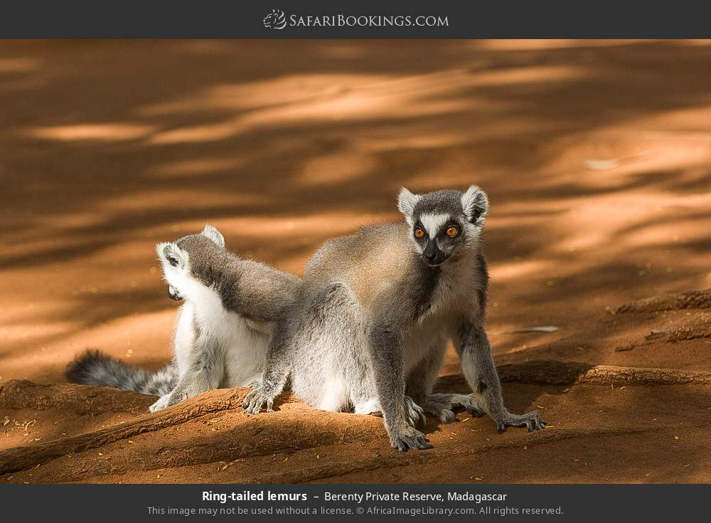 Ring-tailed lemurs in Berenty Private Reserve, Madagascar