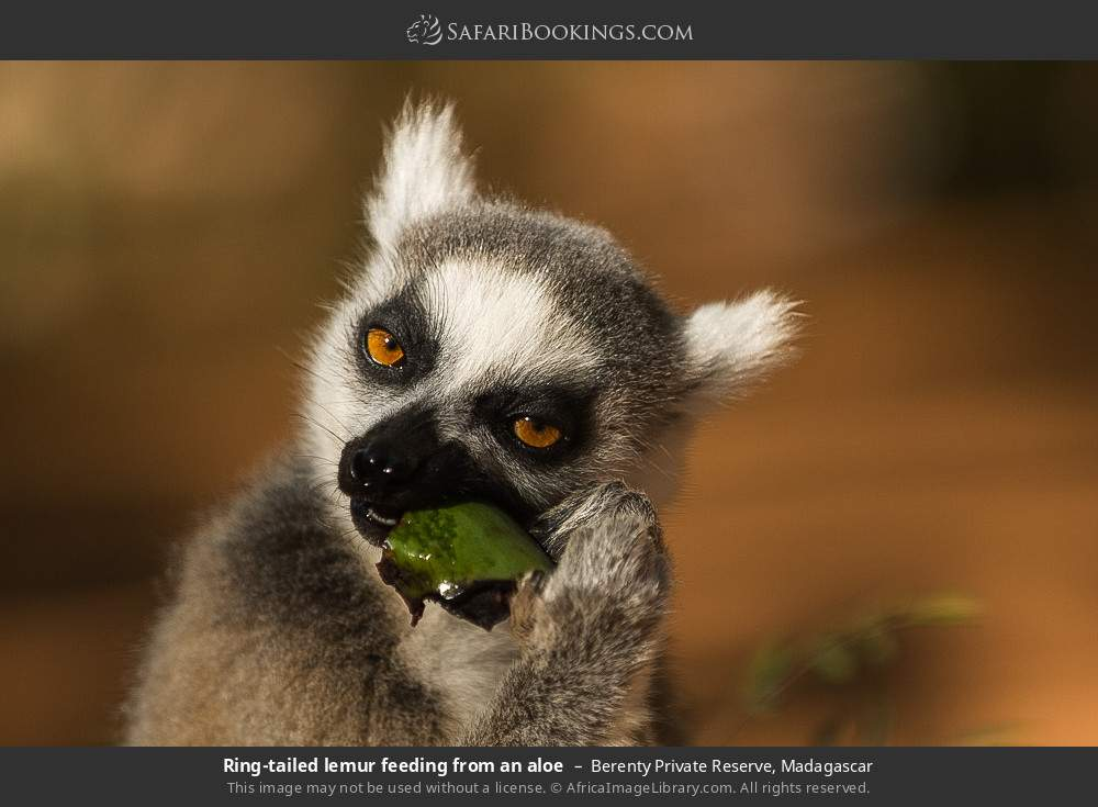 Ring-tailed lemur feeding from an aloe in Berenty Private Reserve, Madagascar