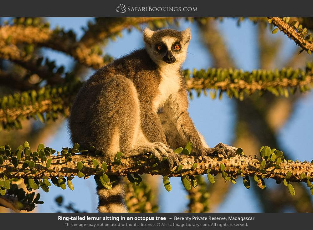 Ring-tailed lemur sitting in an octopus tree in Berenty Private Reserve, Madagascar
