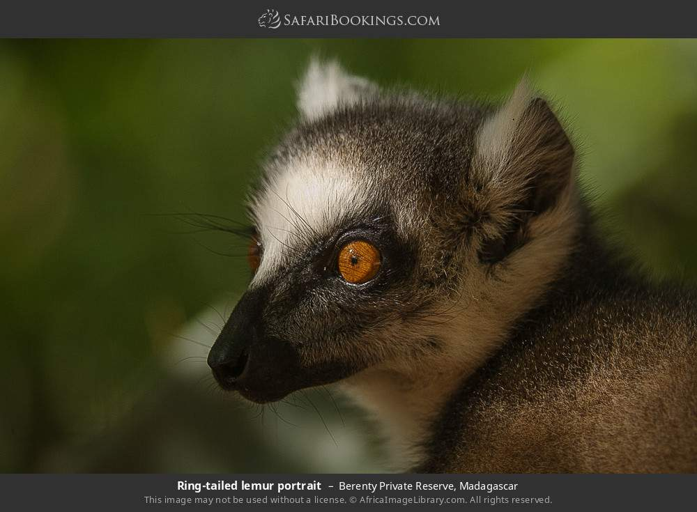 Ring-tailed lemur portrait in Berenty Private Reserve, Madagascar