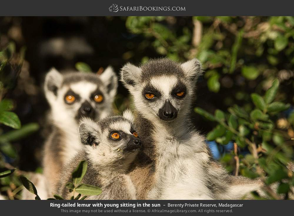 Ring-tailed lemur with young sitting in the sun in Berenty Private Reserve, Madagascar