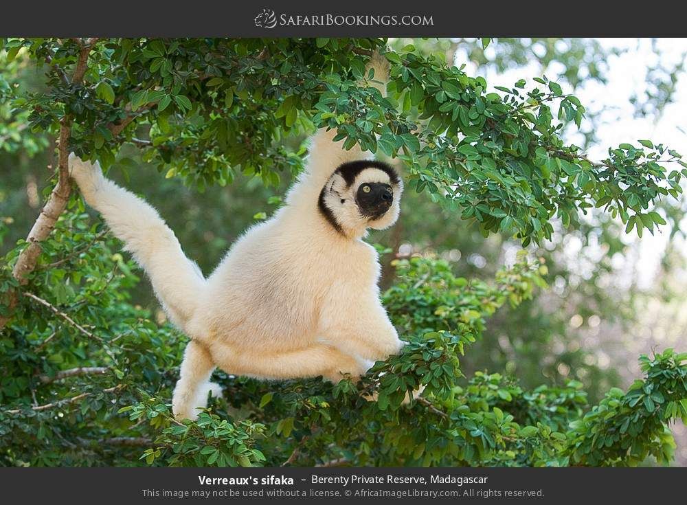 Verreaux's sifaka in Berenty Private Reserve, Madagascar