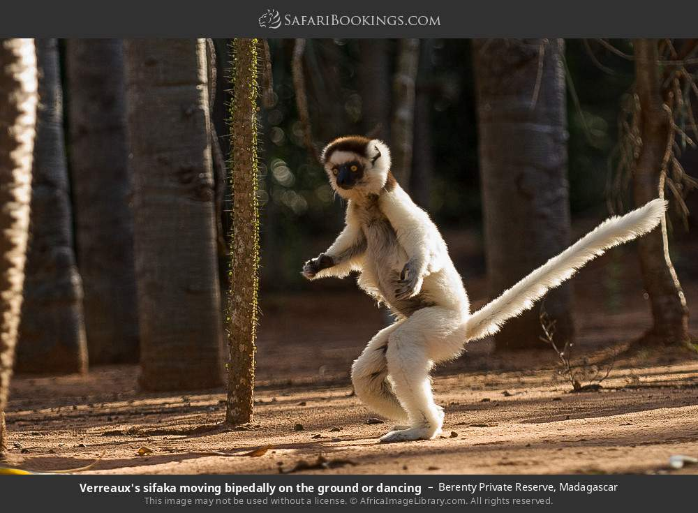 Verreaux's sifaka moving bipedally on the ground or dancing in Berenty Private Reserve, Madagascar