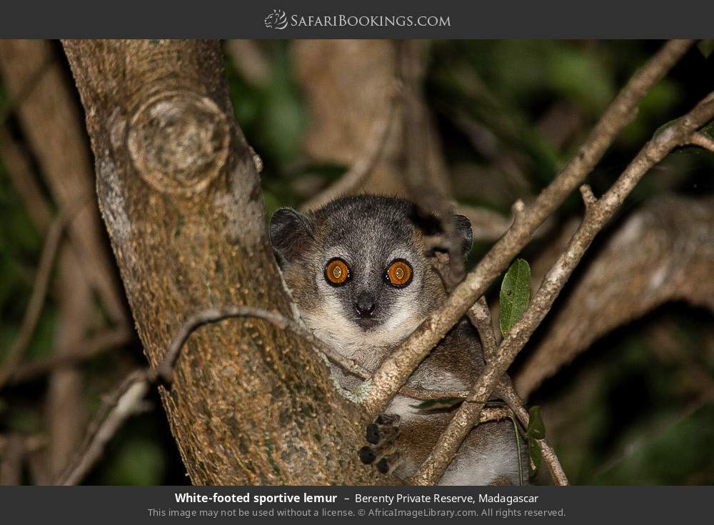 White footed sportive lemur in Berenty Private Reserve, Madagascar