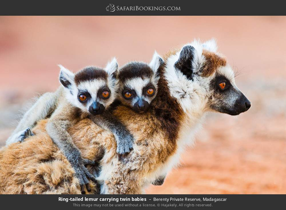 Ring-tailed lemur carrying twin babies in Berenty Private Reserve, Madagascar
