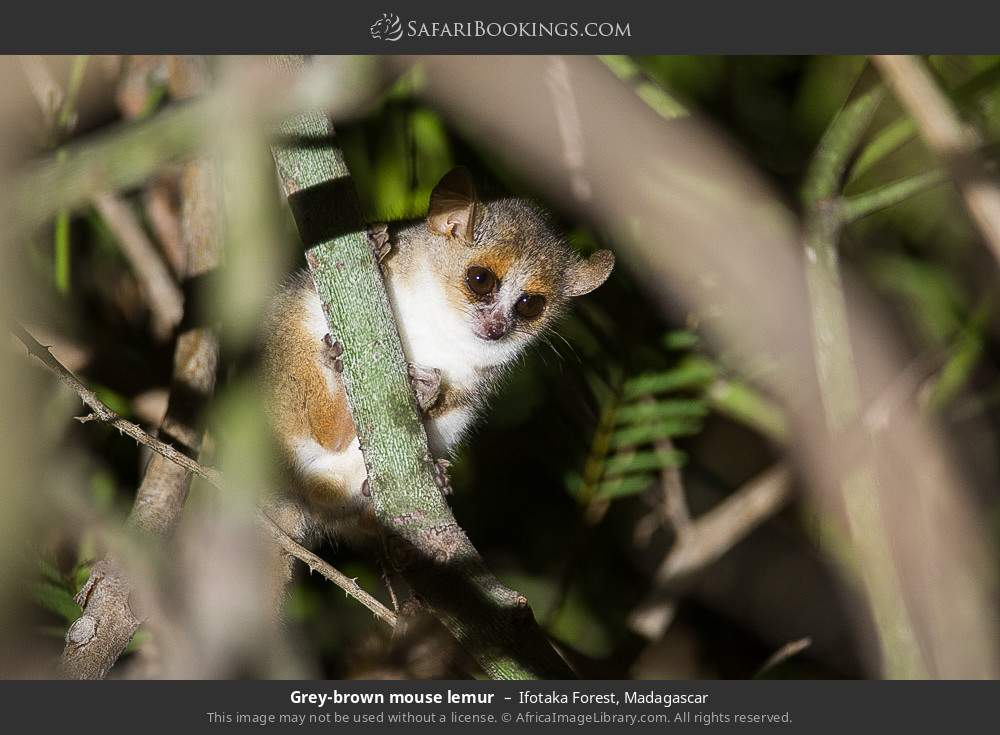 Grey brown mouse lemur in Ifotaka Forest, Madagascar