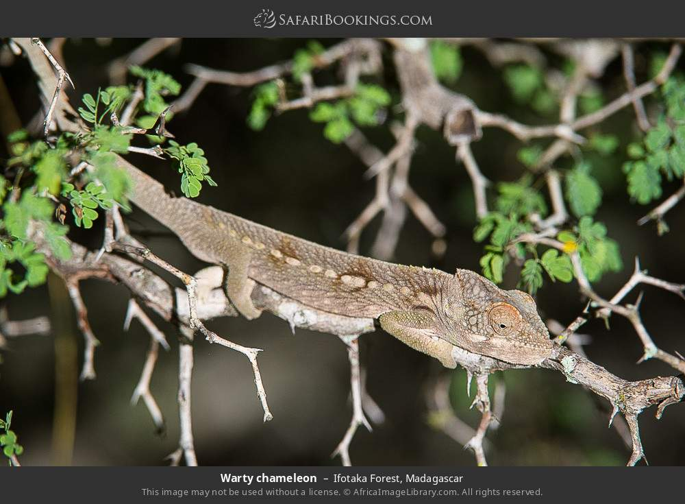 Warty chameleon in Ifotaka Forest, Madagascar