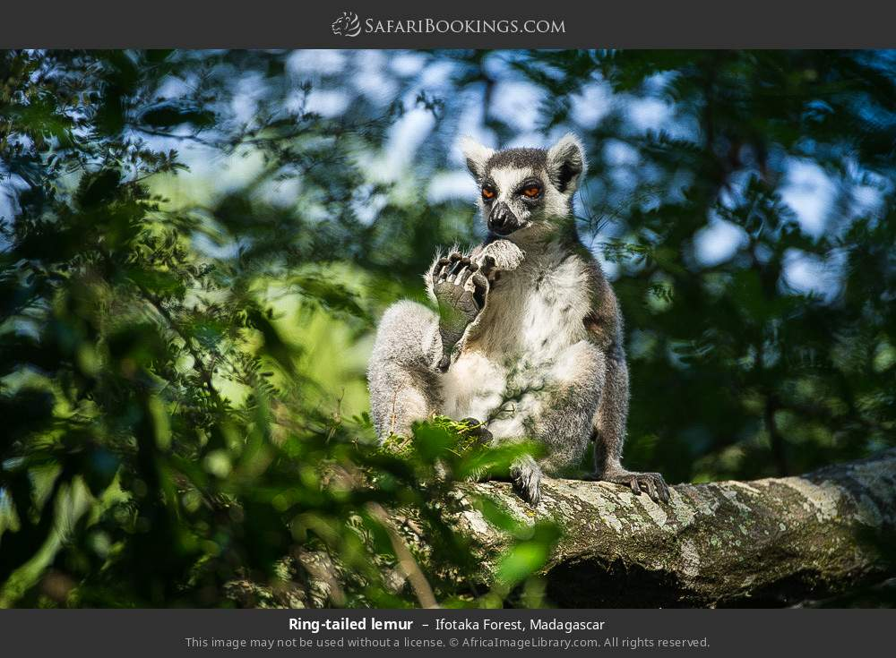 Ring-tailed lemur in Ifotaka Forest, Madagascar