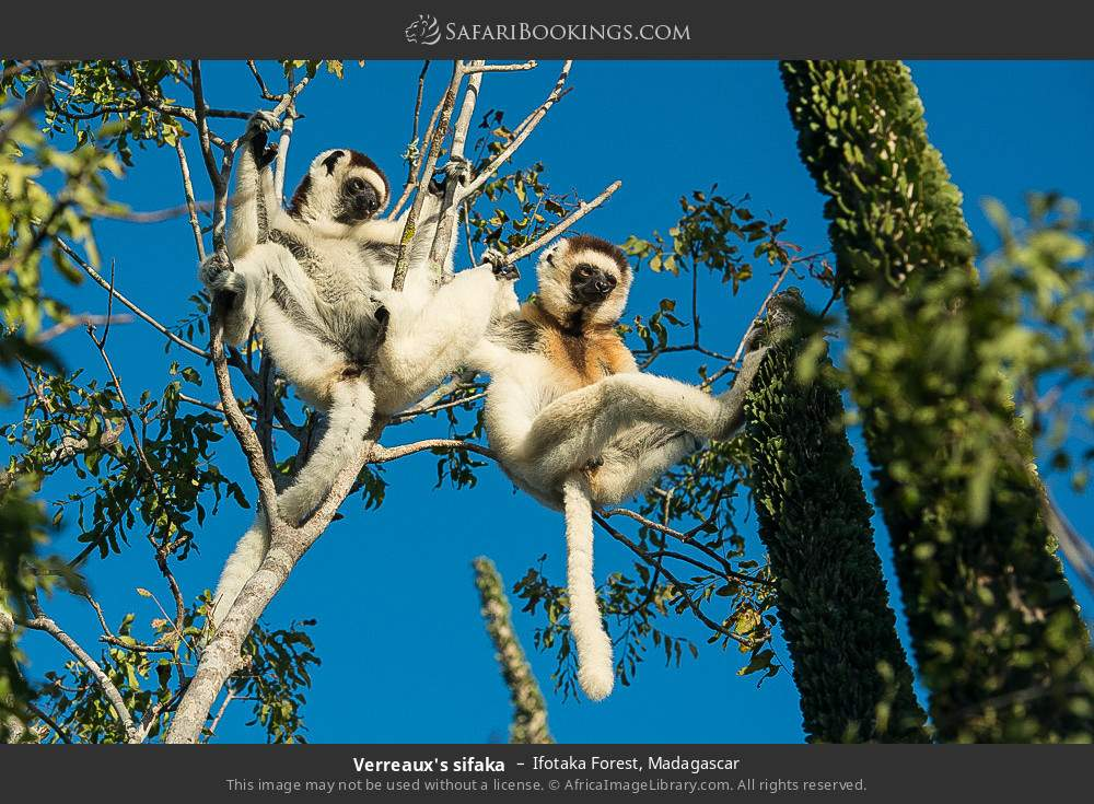 Verreaux's sifaka in Ifotaka Forest, Madagascar