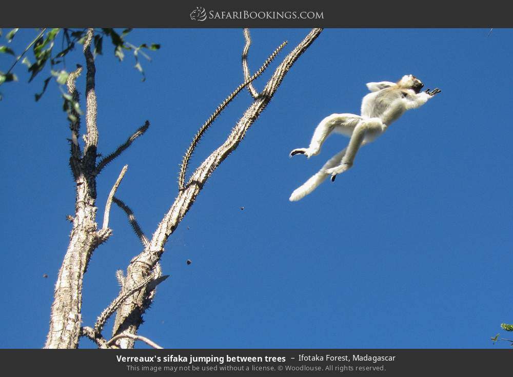 Verreaux's sifaka jumping between trees in Ifotaka Forest, Madagascar