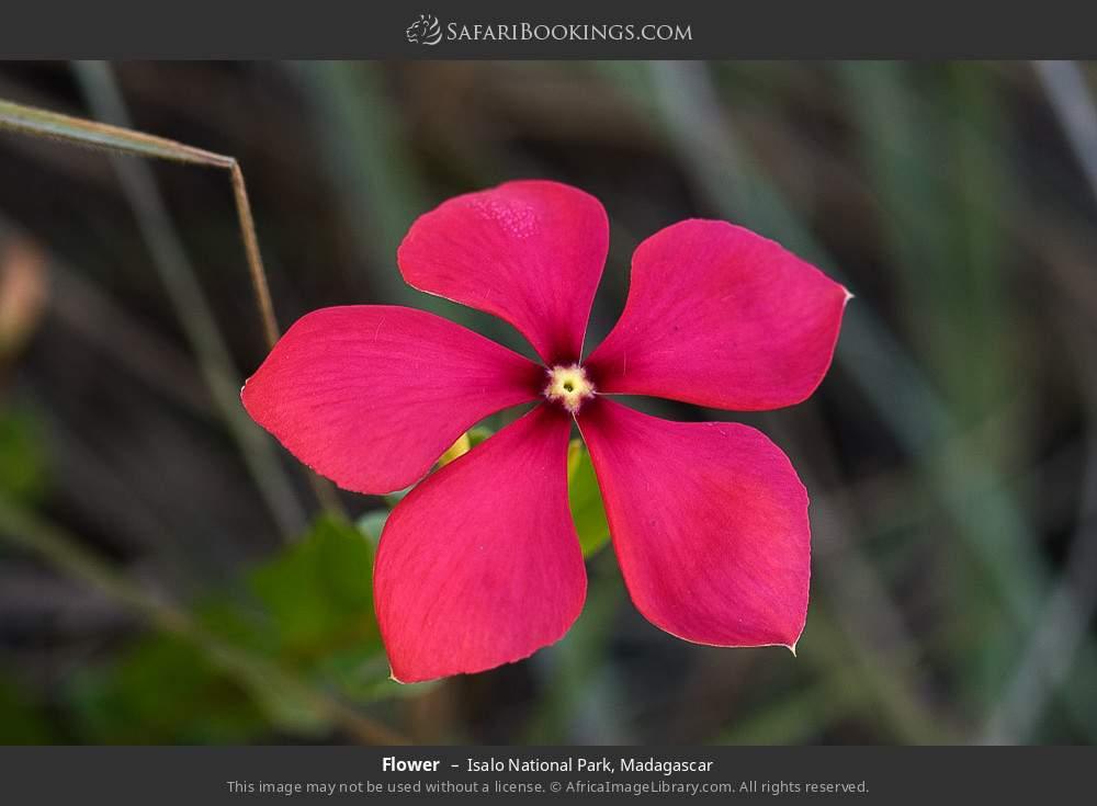 Flower in Isalo National Park, Madagascar