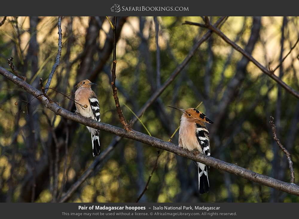 Pair of Madagascar hoopoes in Isalo National Park, Madagascar