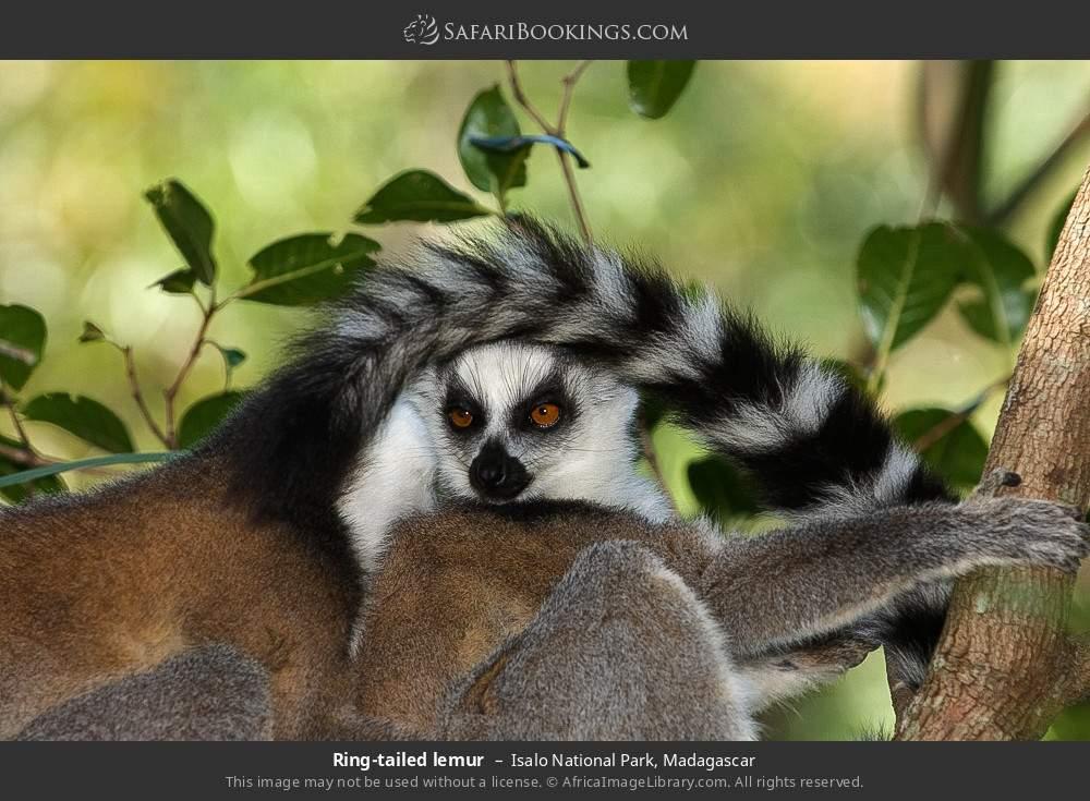 Ring-tailed lemur in Isalo National Park, Madagascar