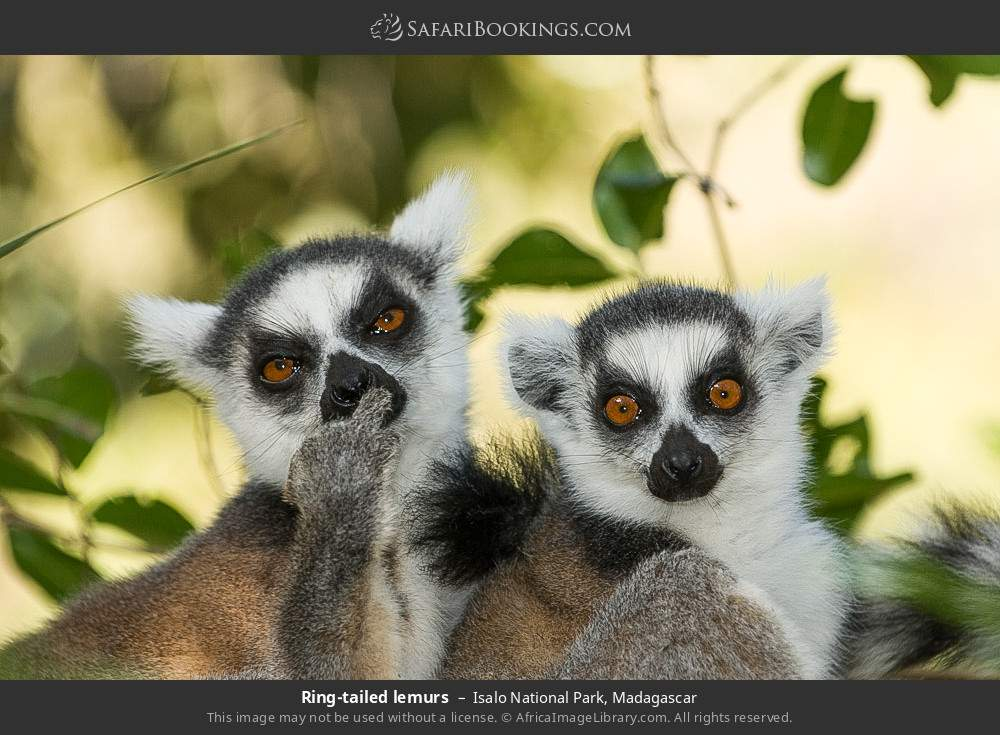 Ring-tailed lemurs in Isalo National Park, Madagascar