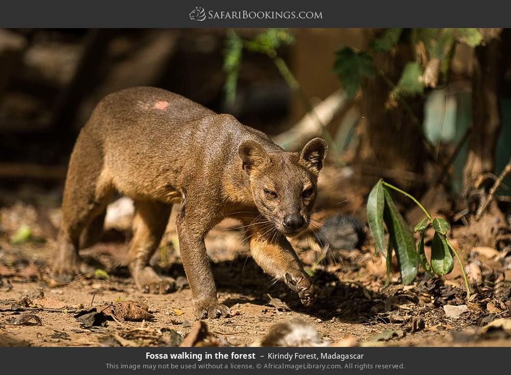 Fossa walking in the forest in Kirindy Forest, Madagascar