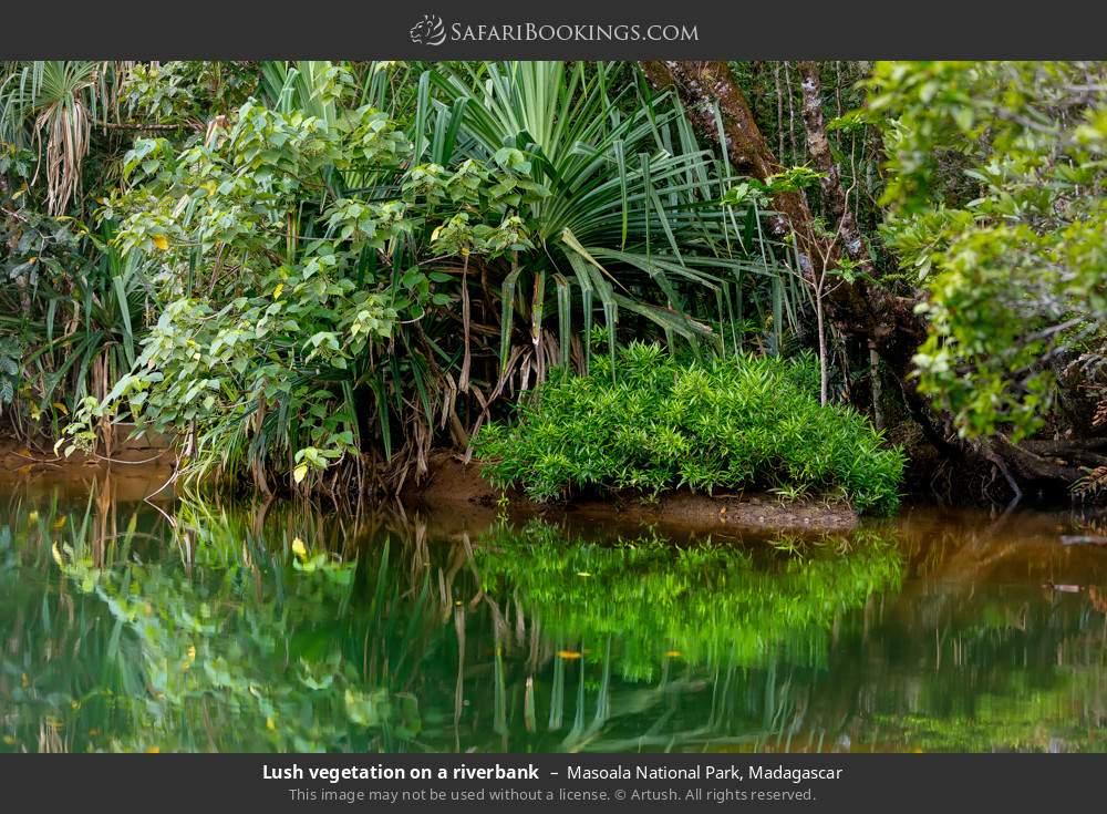 Lush vegetation on a river bank in Masoala National Park, Madagascar