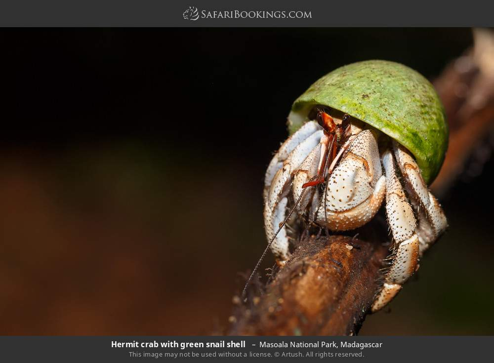 Hermit crab with green snail shell  in Masoala National Park, Madagascar