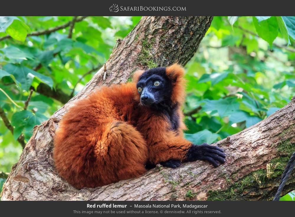 Red-ruffed lemur in Masoala National Park, Madagascar