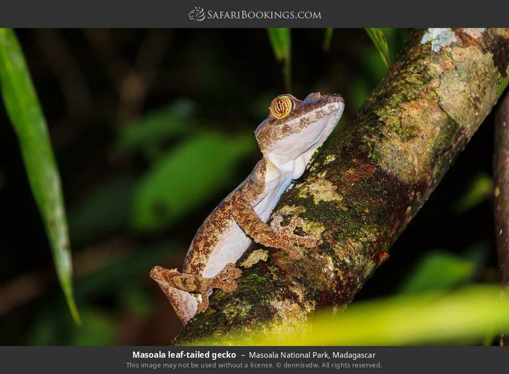Masoala leaf-tailed gecko in Masoala National Park, Madagascar