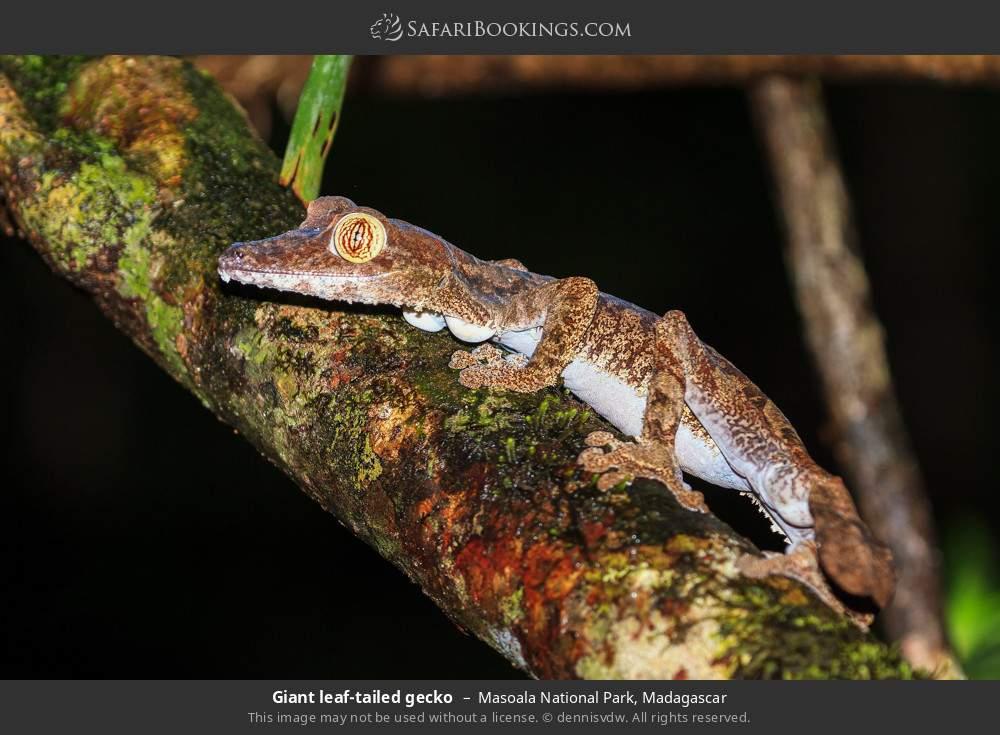 Giant leaf-tailed gecko in Masoala National Park, Madagascar