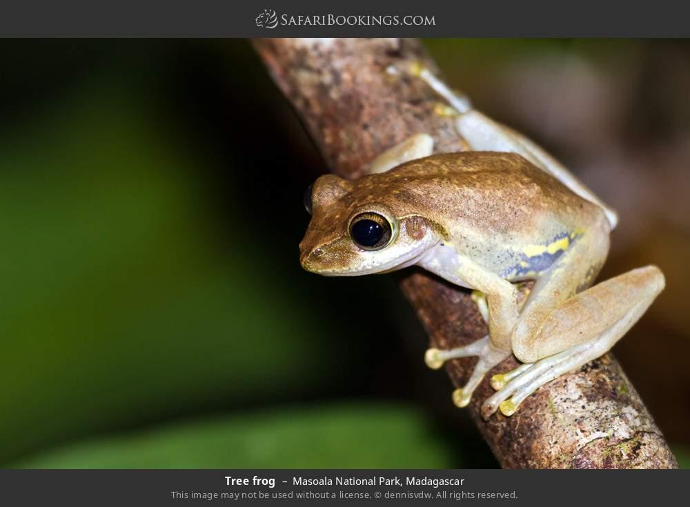 Tree frog in Masoala National Park, Madagascar
