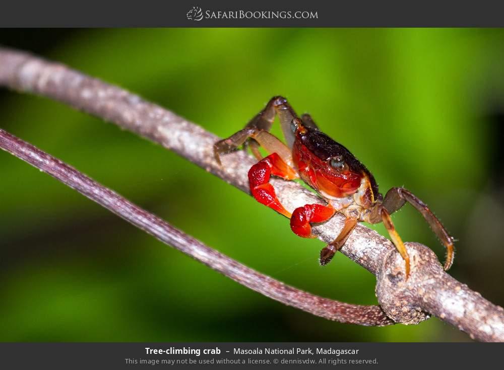 Tree-climbing crab in Masoala National Park, Madagascar