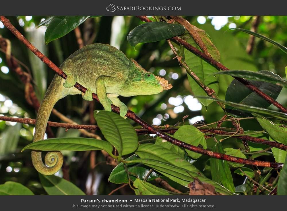 Parson's chameleon in Masoala National Park, Madagascar