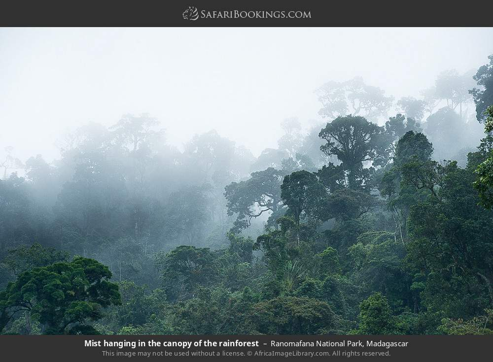 Mist haning in the canopy of the rainforest in Ranomafana National Park, Madagascar
