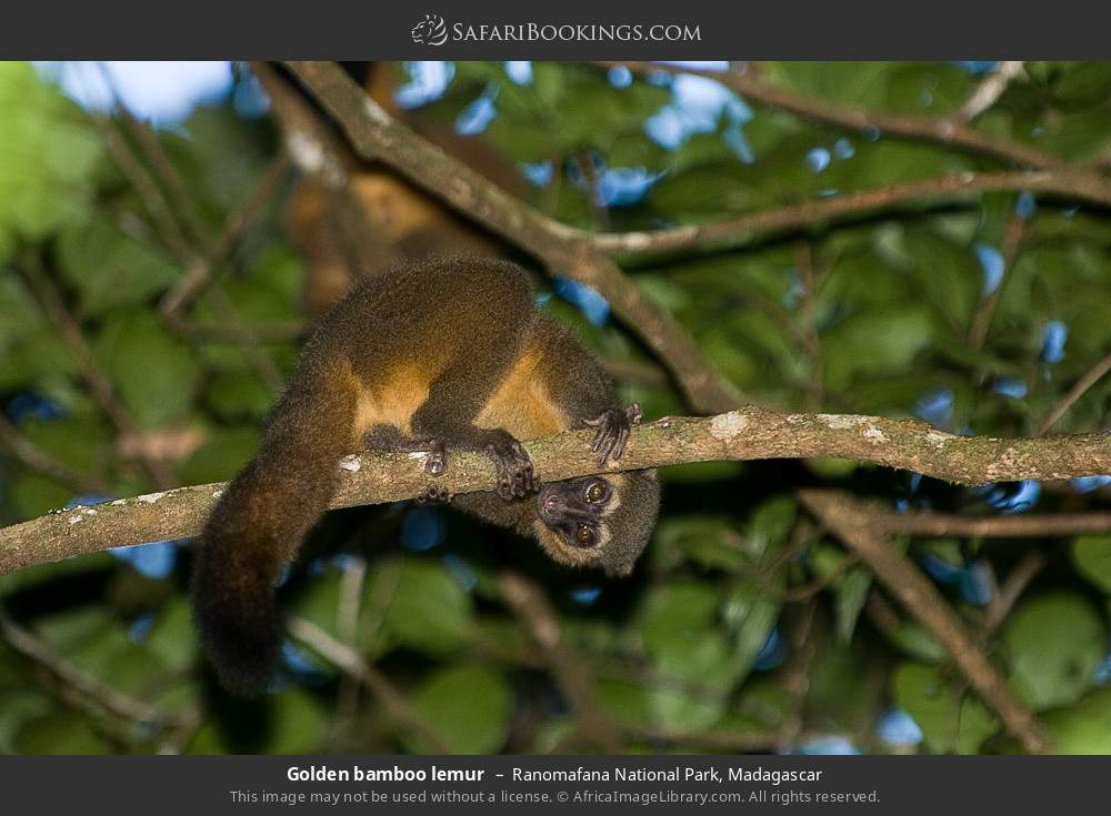 Golden bamboo lemur in Ranomafana National Park, Madagascar