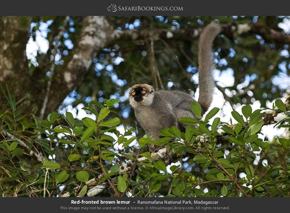 Red-fronted brown lemur in Ranomafana National Park, Madagascar