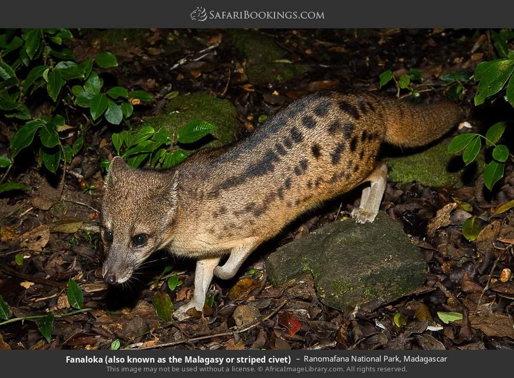 Fanaloka or Malagasy striped civet  in Ranomafana National Park, Madagascar