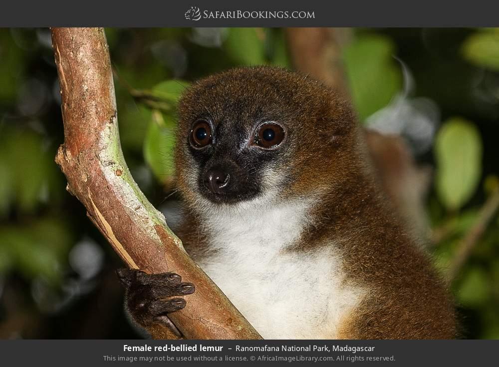 Female red-bellied lemur in Ranomafana National Park, Madagascar
