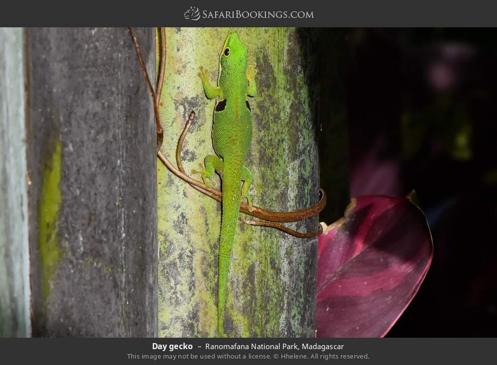 Day gecko in Ranomafana National Park, Madagascar