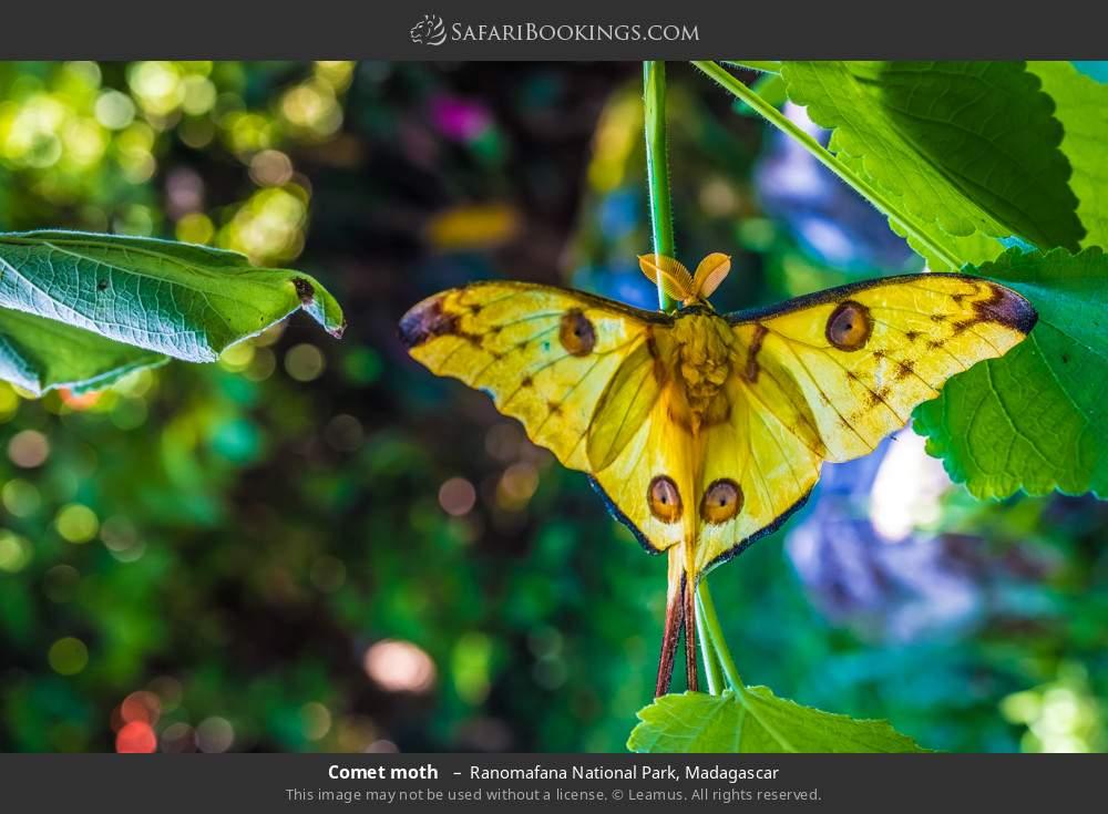 Comet moth  in Ranomafana National Park, Madagascar