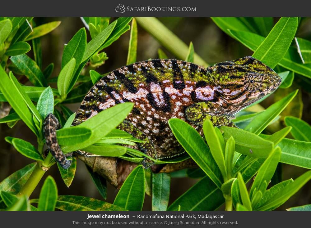 Jewelled chameleon in Ranomafana National Park, Madagascar