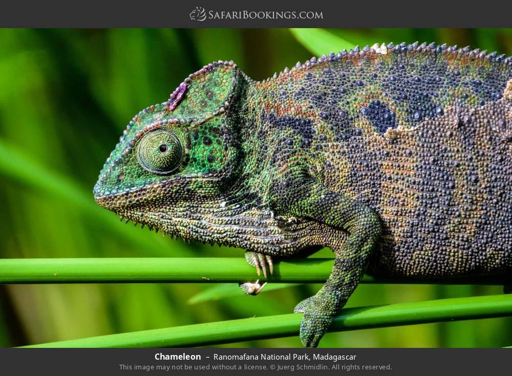 Chameleon in Ranomafana National Park, Madagascar