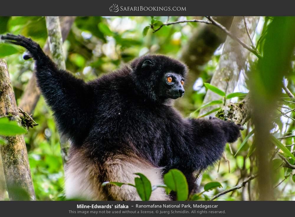 Milne-Edwards' sifaka in Ranomafana National Park, Madagascar