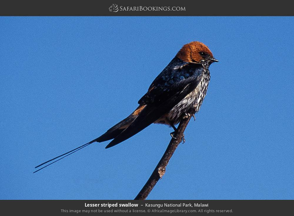 Lesser striped swallow in Kasungu National Park, Malawi