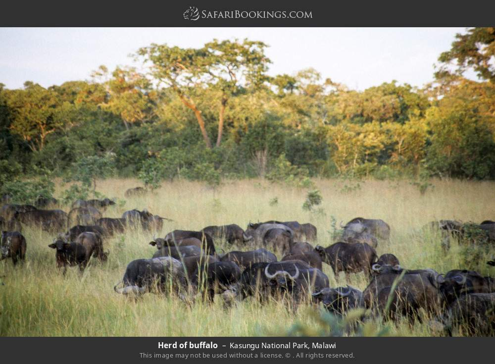 Herd of buffalo in Kasungu National Park, Malawi