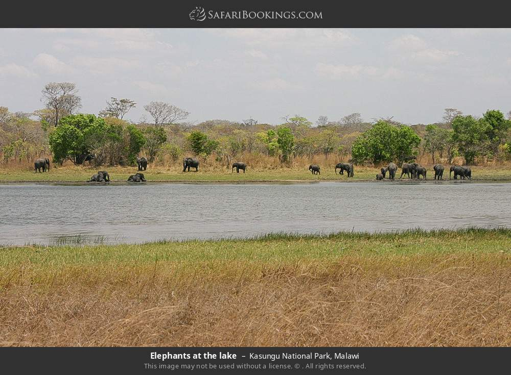 Elephants at the lake in Kasungu National Park, Malawi