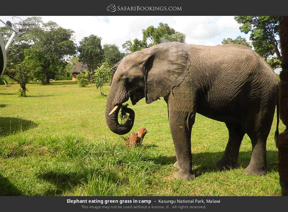 Elephant eating green grass in camp in Kasungu National Park, Malawi