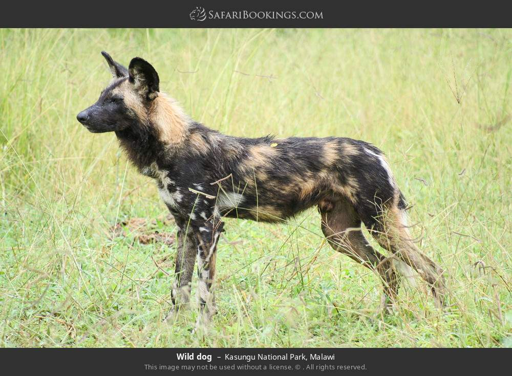 Wild dog in Kasungu National Park, Malawi