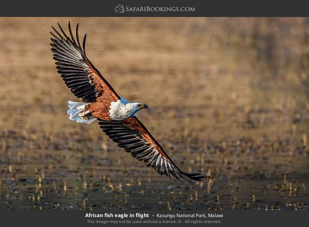 African fish eagle in flight in Kasungu National Park, Malawi