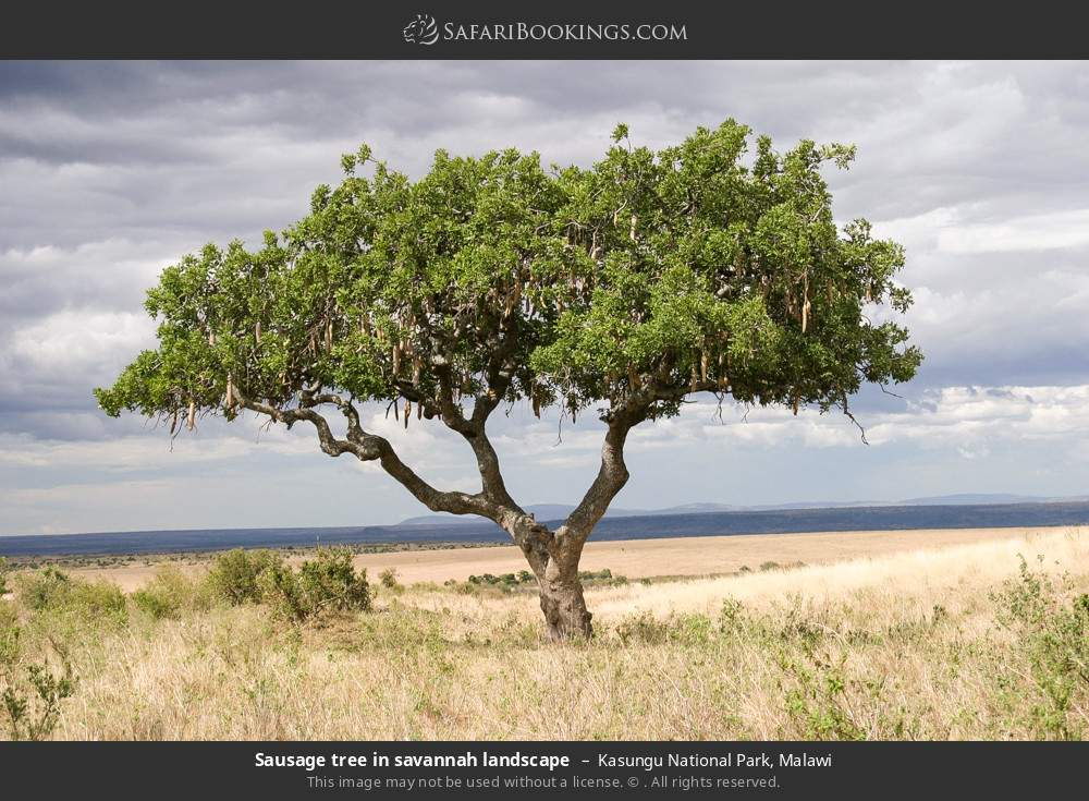 Sausage tree in savannah landscape in Kasungu National Park, Malawi