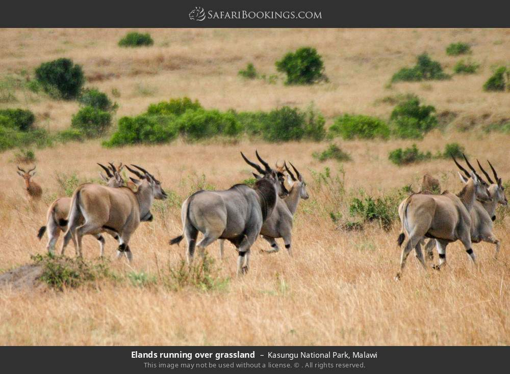 Elands running over grassland in Kasungu National Park, Malawi