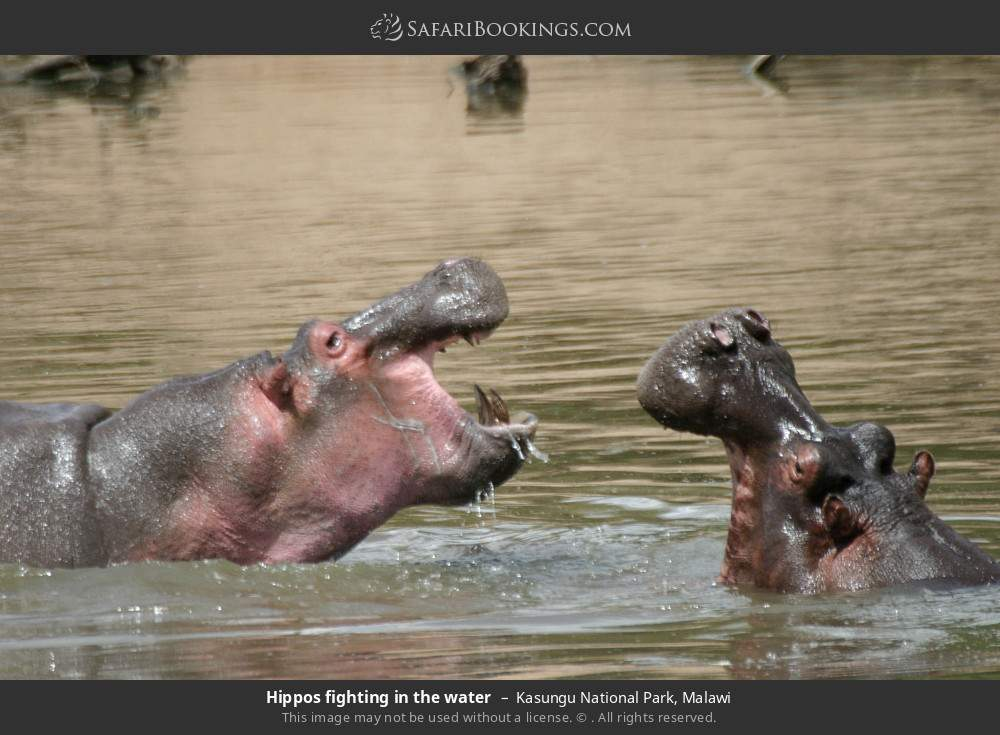 Hippos fighting in the water in Kasungu National Park, Malawi