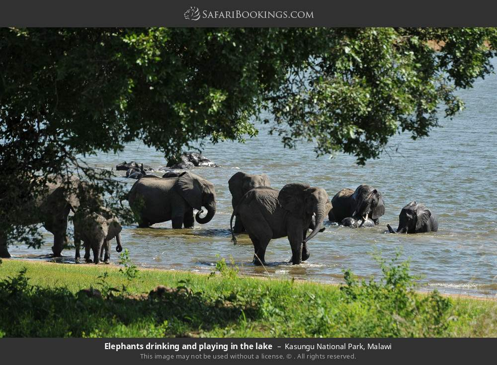 Elephants drinking and playing in the lake in Kasungu National Park, Malawi